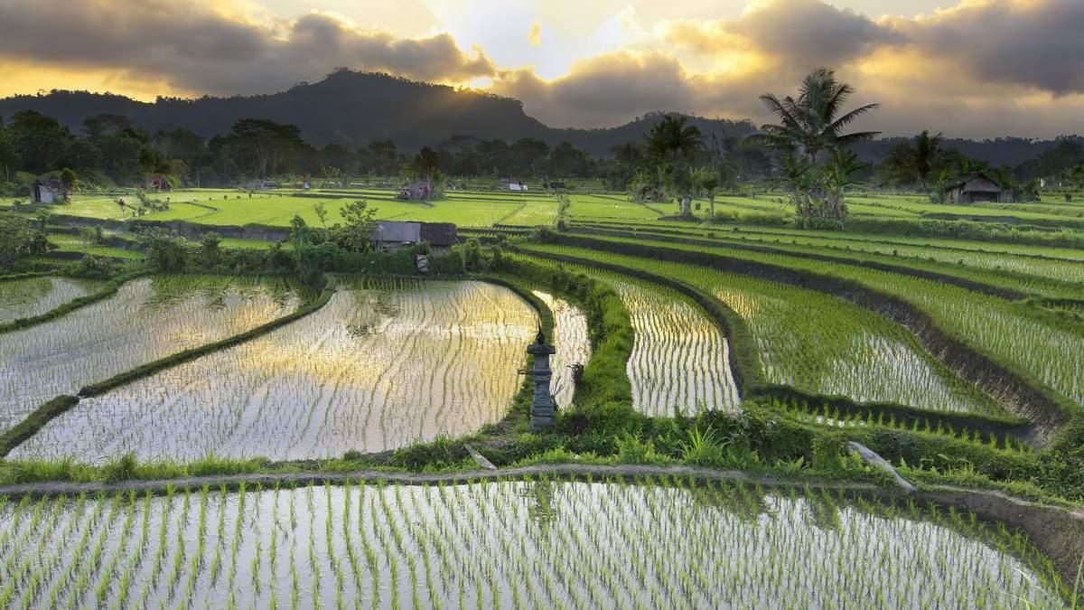 Рисовое поле в Индонезии