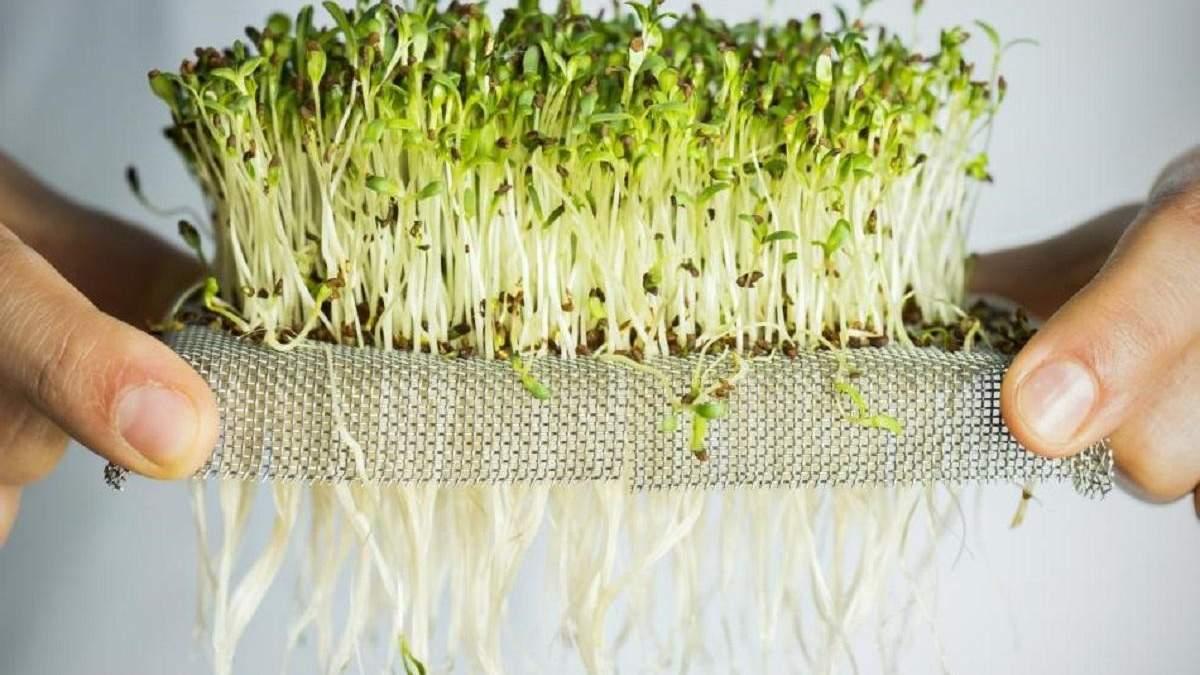 Як виростити мікрозелень в домашніх умовах: відео, поради фермера