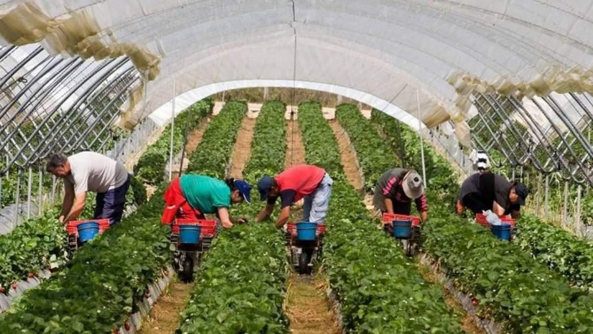 Сезонна робота в Чехії 2020: без українців проблеми у фермерів