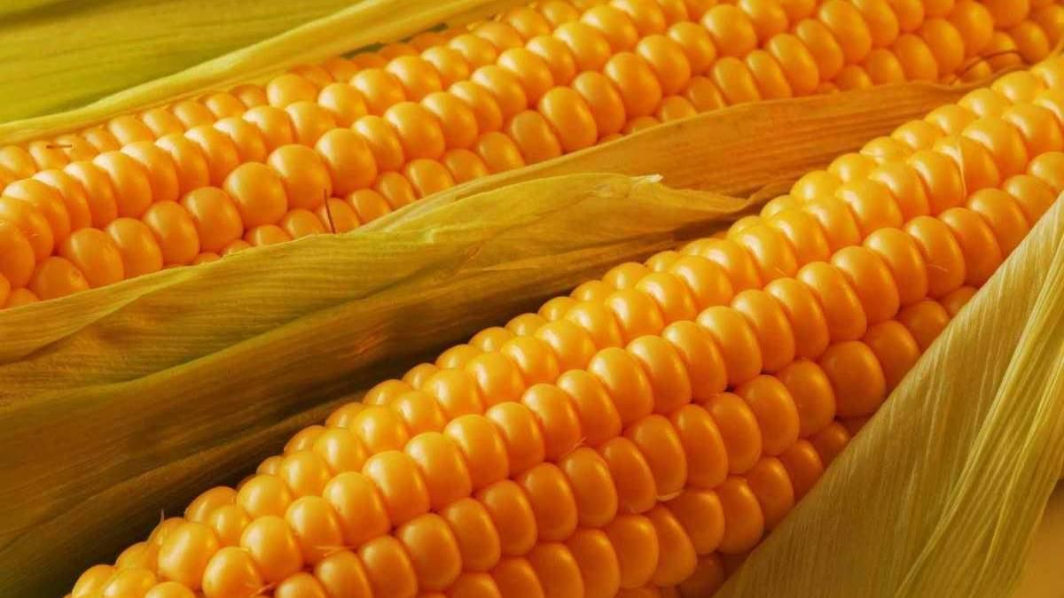 Кукурудза в Україні вродила