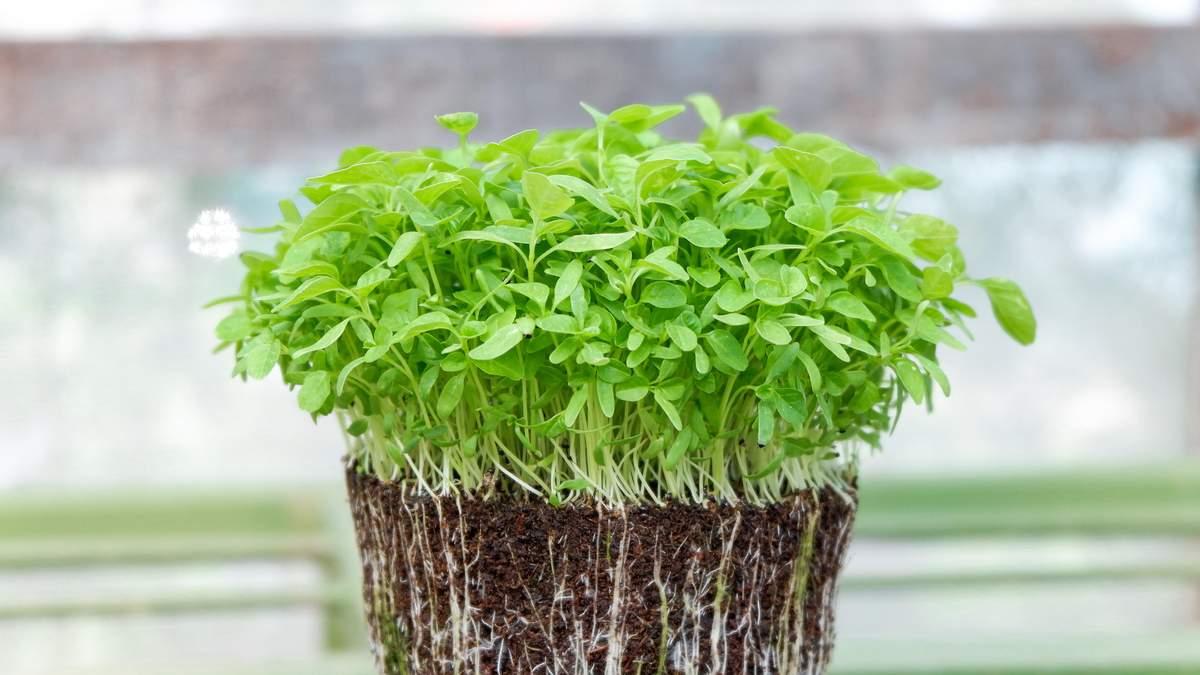 Що потрбіно знати про мікрозелень