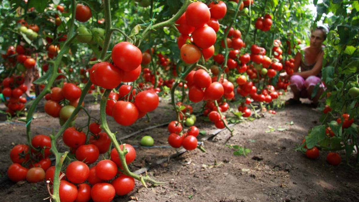 Определены наиболее урожайные гибриды томата для Западной Лесостепи