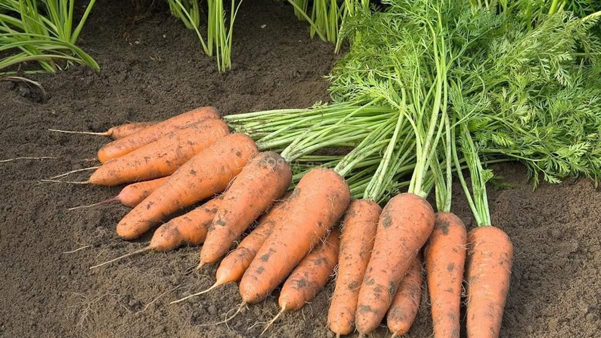 Морква залишається в землі: чому фермери не збирають врожай