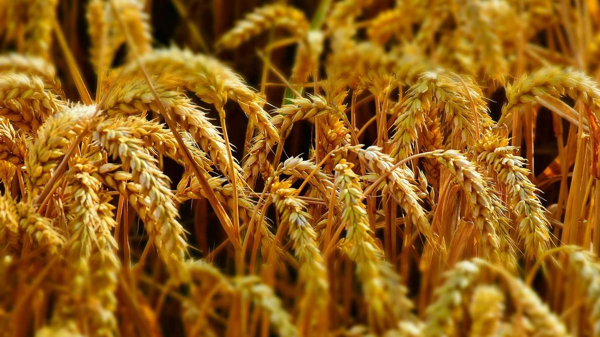 В Хмельницком будут выращивать цветную пшеницу: семена разработали украинцы