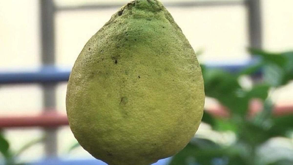 Лимони вагою пів кілограма вирощують на Волині