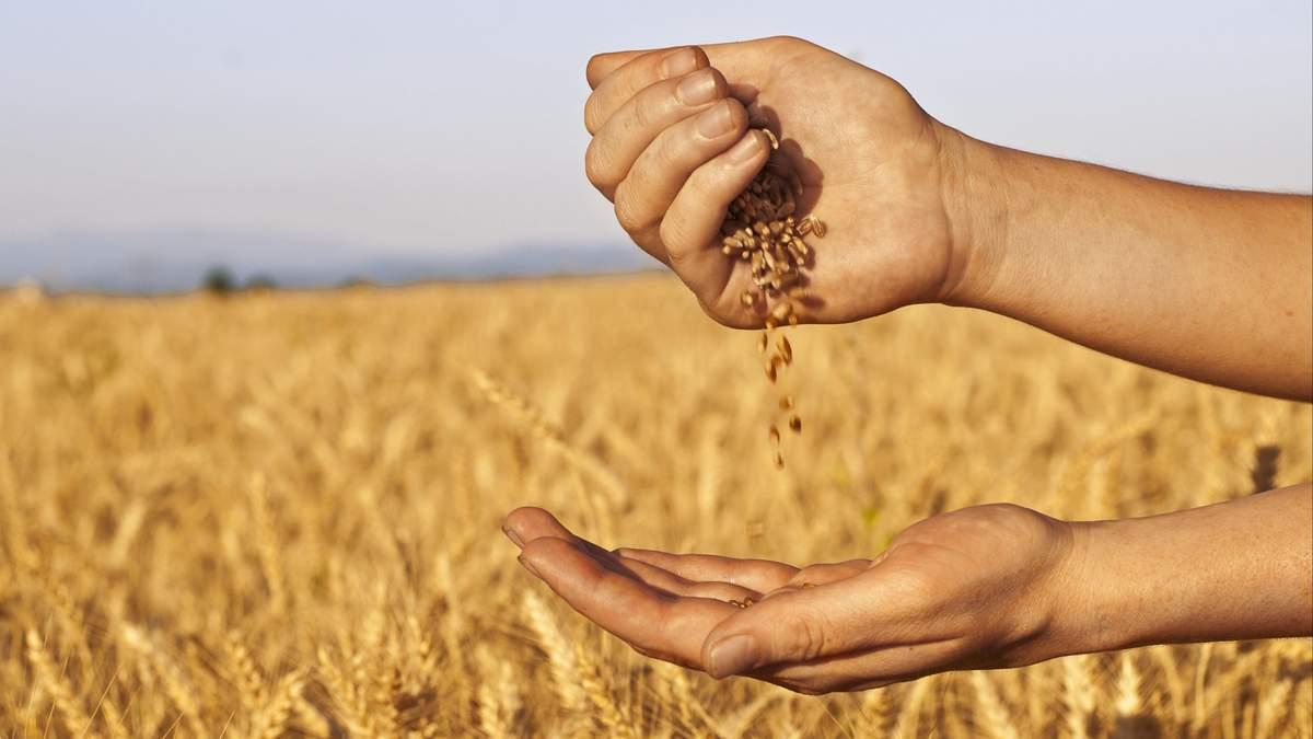 Качество зерна: ученые изобрели уникальный способ быстрой проверки