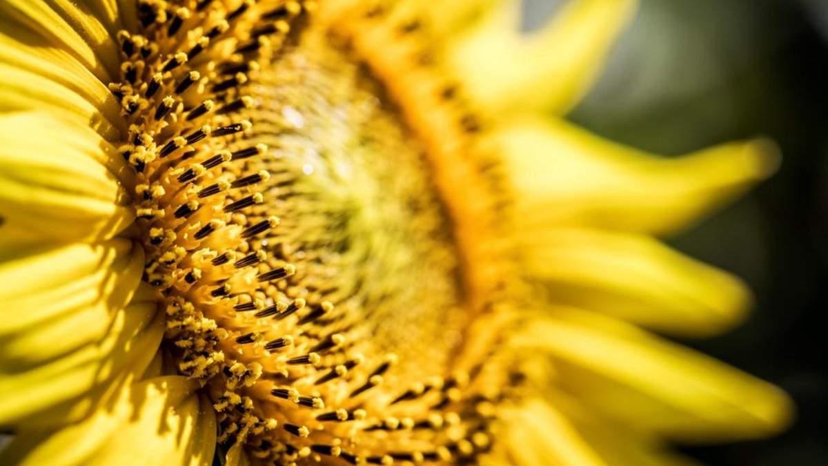 Соняшник – дуже вигідна культура