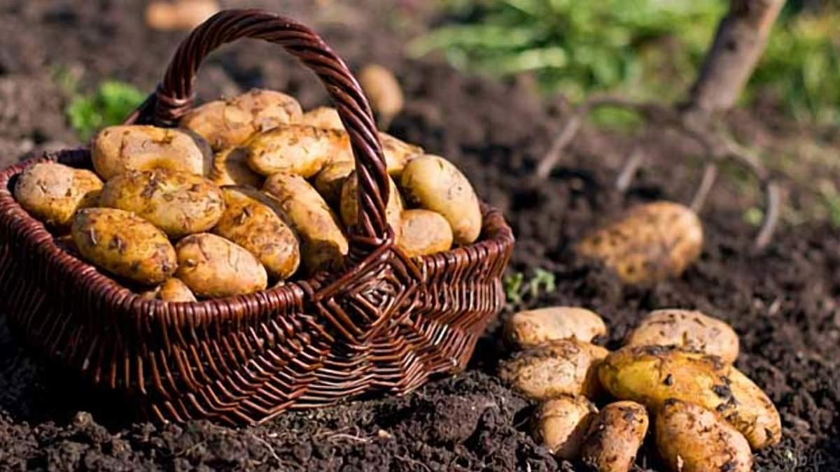 Польща наростила урожай картоплі