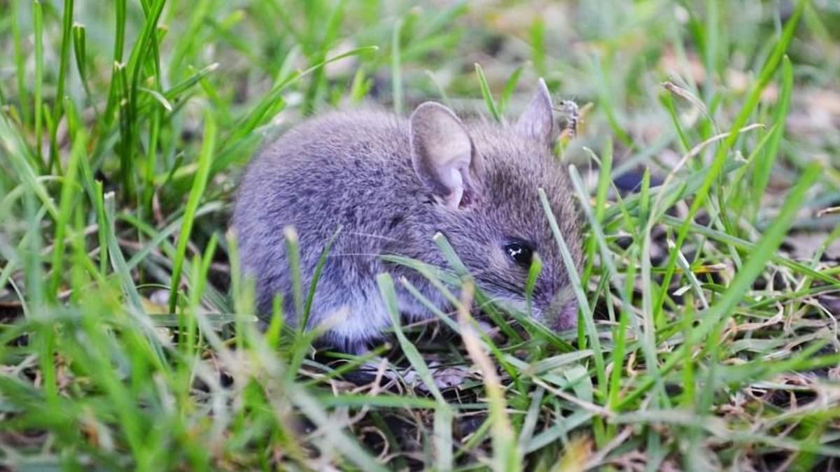Озимой пшенице в Донецкой области угрожают мыши