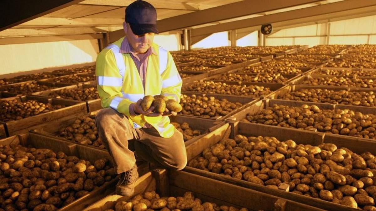 Дефіцит сховищ для картоплі: скільки площі не вистачає