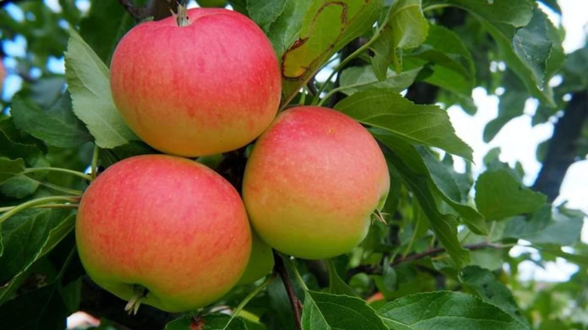 Виробництво яблук: на скільки знизиться світовий показник цього року