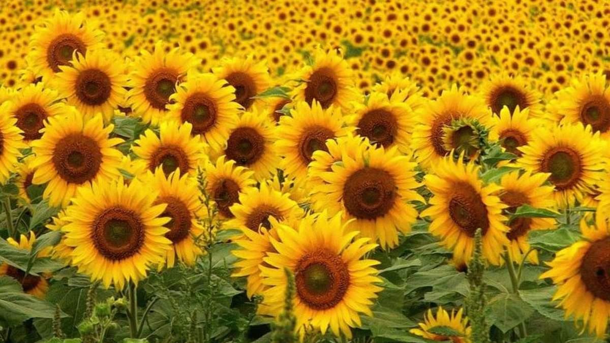 Експорт українського соняшнику виріс в десяток разів