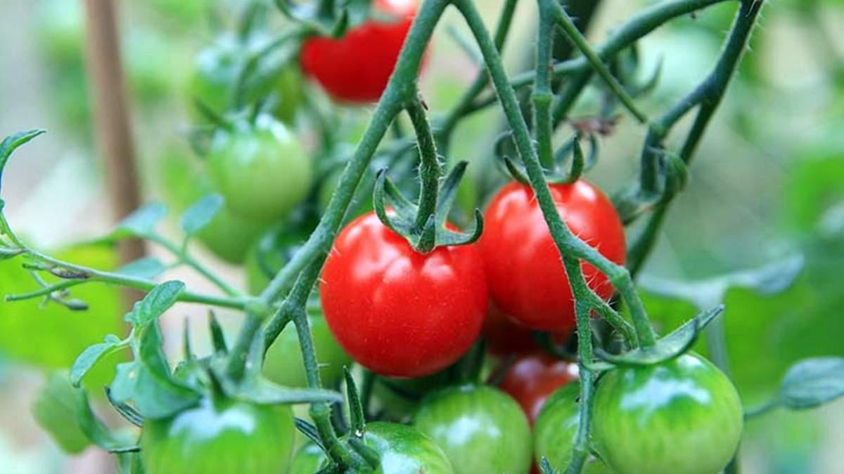 Солодкий томат черрі: на Тайвані виростили унікальний продукт