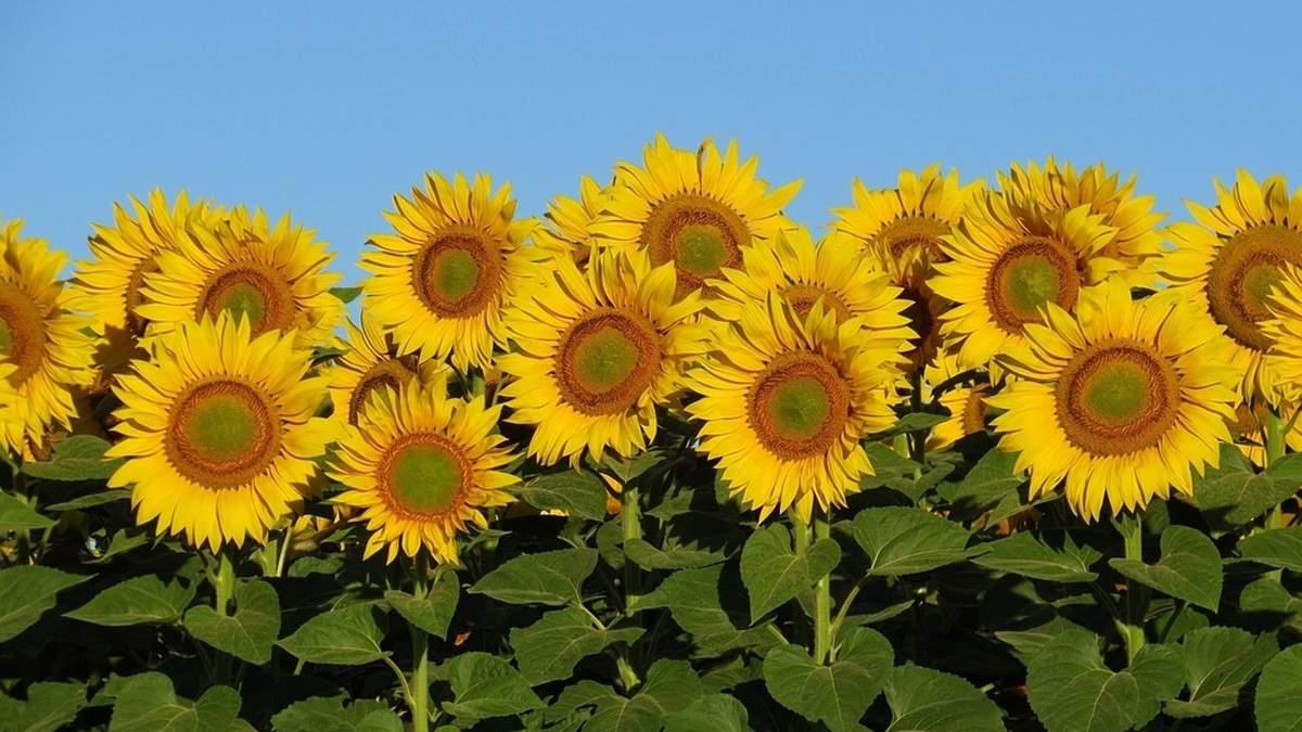 Соняшник – найкращий варіант для посушливих регіонів / Фото з соцмереж