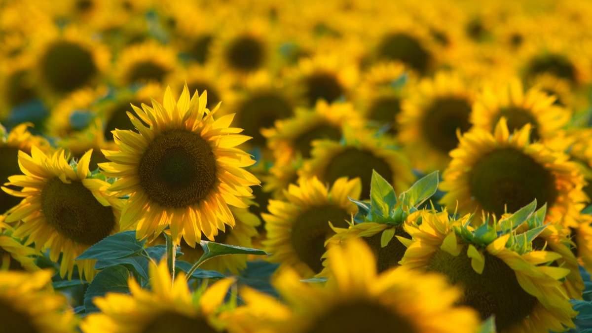Бор и медь всего влияют на урожай подсолнечника / Фото из соцсетей