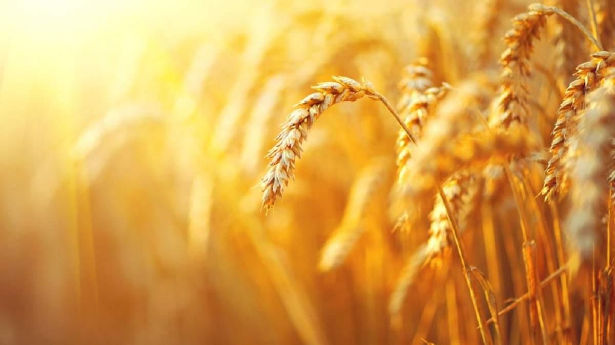 Украинская пшеница