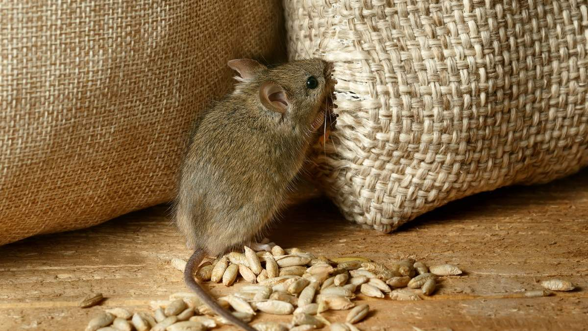 Нашестя мишей в Австралії