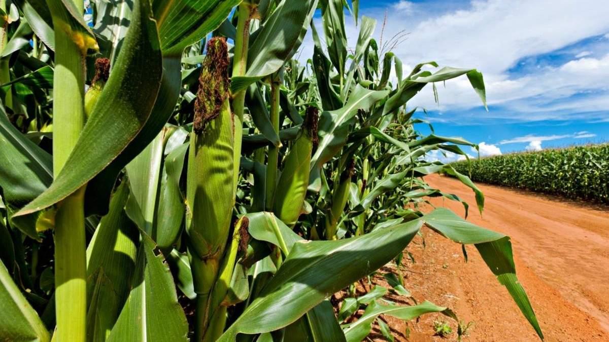Препараты BASF для защиты кукурузы