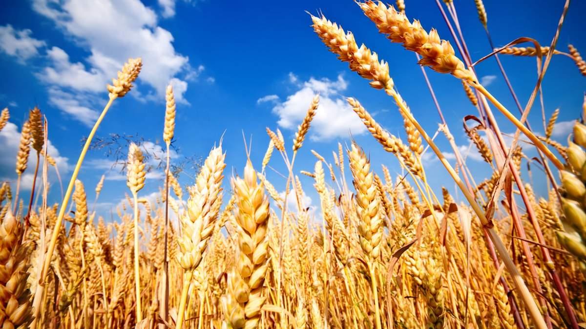 Цена на украинскую пшеницу колеблется в пределах 270-285 долларов за тонну / Фото из соцсетей