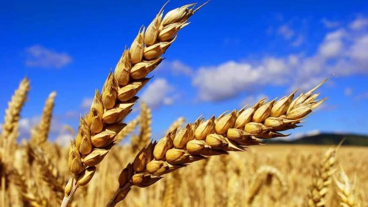 Часть экспортной украинской пшеницы отправится в Египет / Фото из соцсетей
