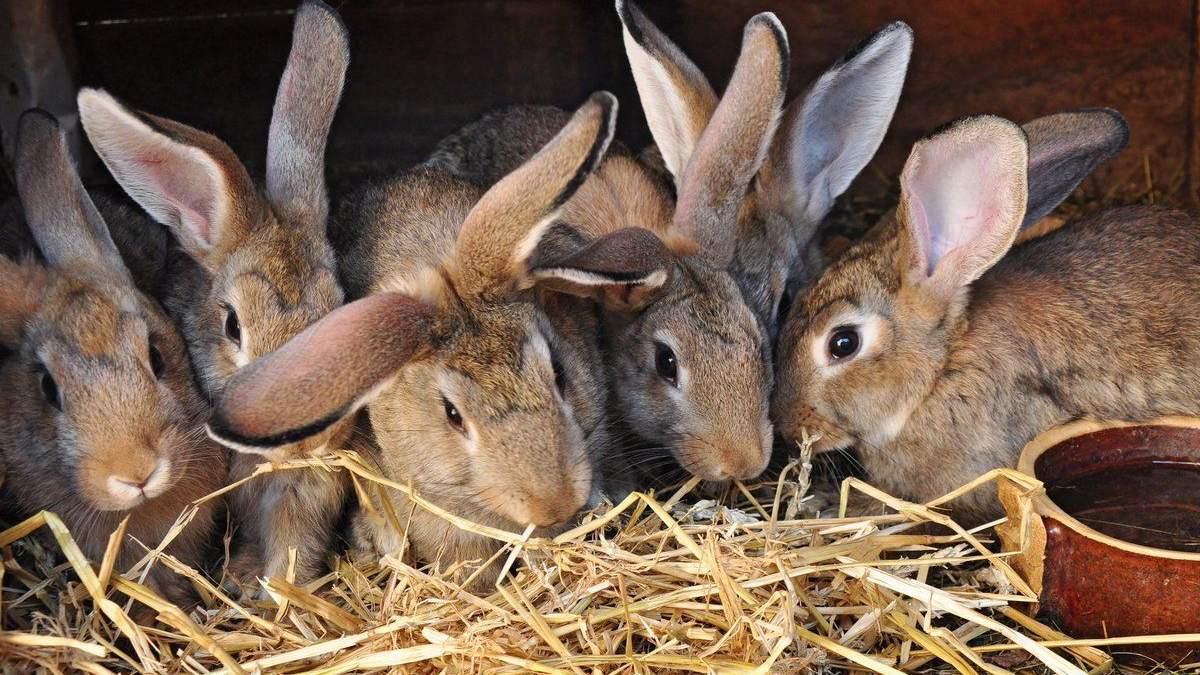 В Украине обвалилось промышленное кролиководство