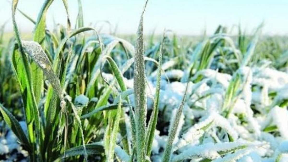 Наприкінці січня погодні умови були сприятливими для озимих культур / Фото з соцмереж