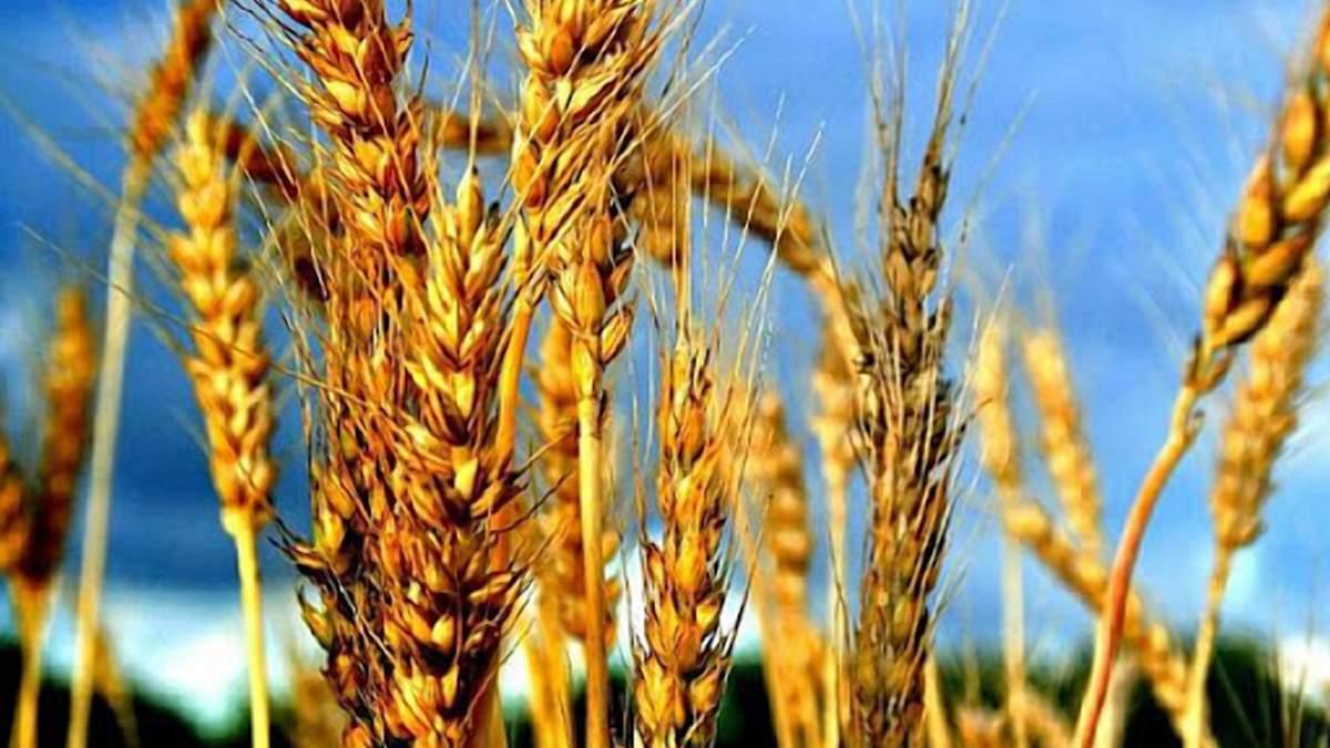 Падіння цін на пшеницю: причини