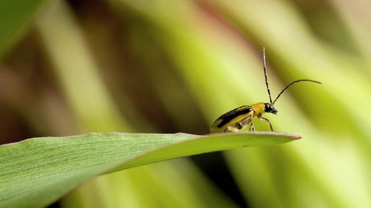 Західний кукурудзяний жук (діабротика)