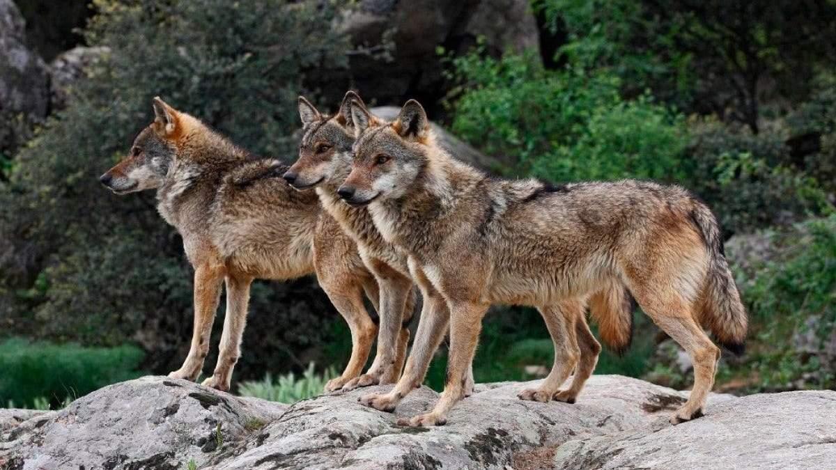 """В Іспанії фермери ведуть """"війну"""" проти вовків"""