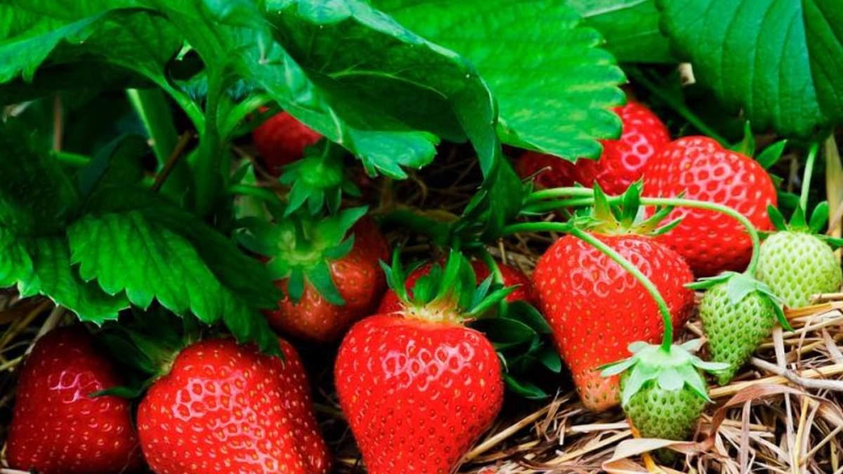 Новая клубника показала хорошую урожайность / Фото из соцсетей
