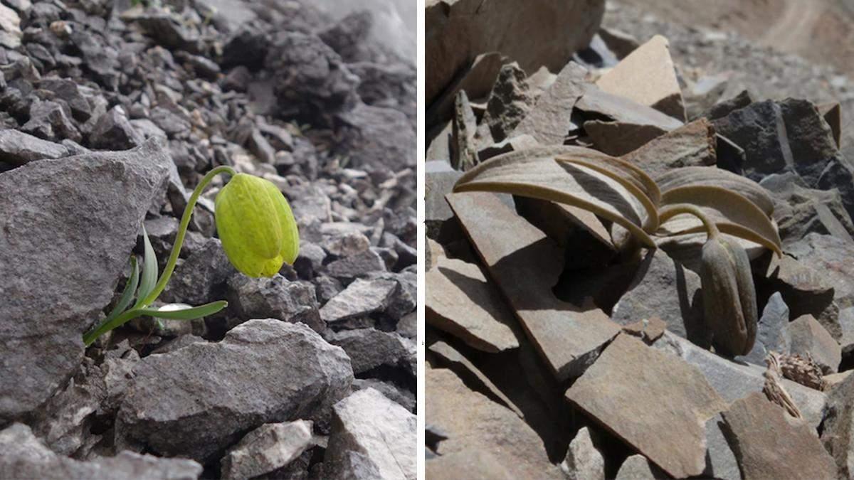 Рябчик делавея – квітка, яка навчилася маскуватися від людей: приголомшливі фото