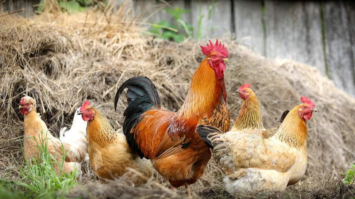 Пташиний грип: в Росії стався перший у світі випадок зараження людини