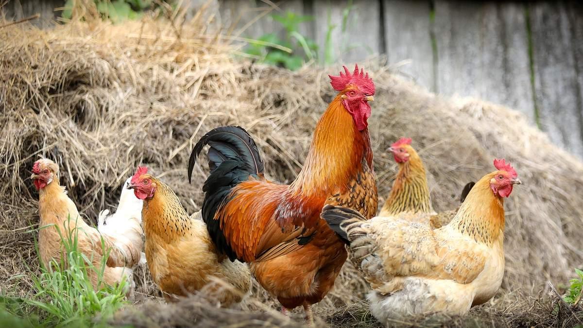 Птичий грипп перекинулся и на людей