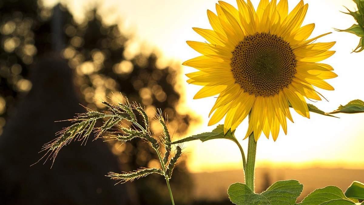 Ціна соняшнику продовжує ріст