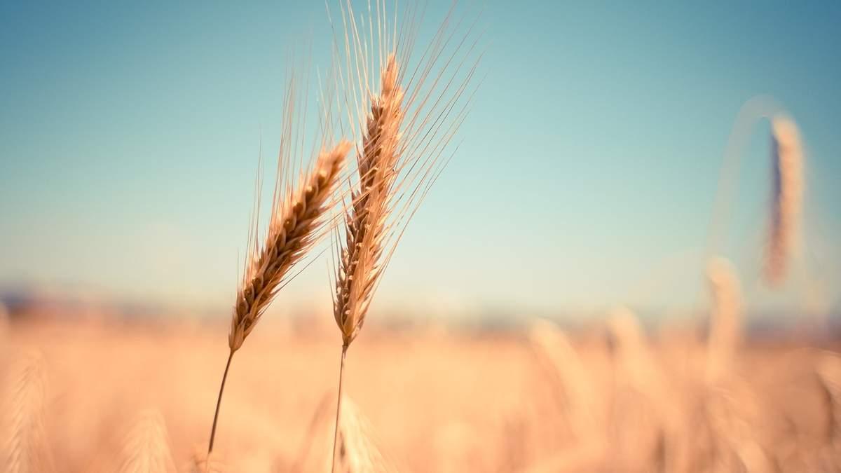 Украина снизила строчку в рейтинге экспортеров пшеницы