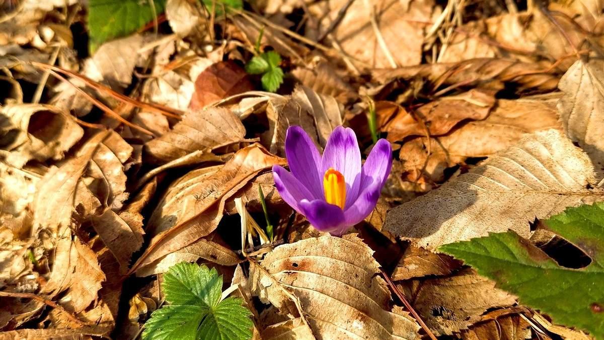 Шафран начал цвести