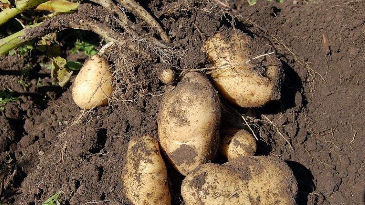 Картофель в Украине