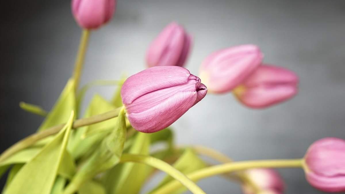Тюльпани цього року подорожчають