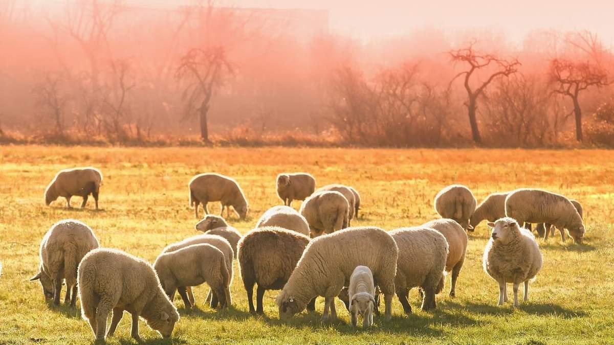 Українські вівчарі збільшили експорт