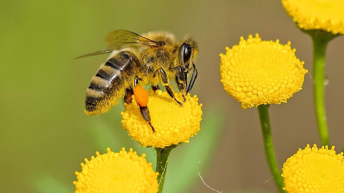 6 удивительных фактов о пчелах