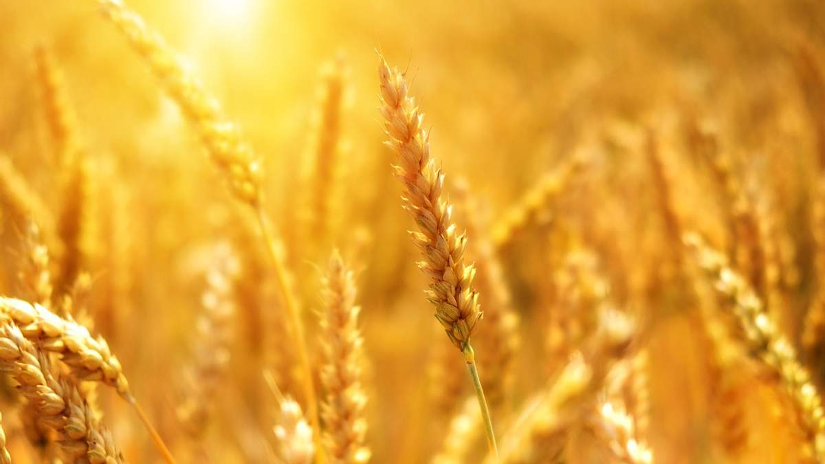 Украина сократила экспорт пшеницы