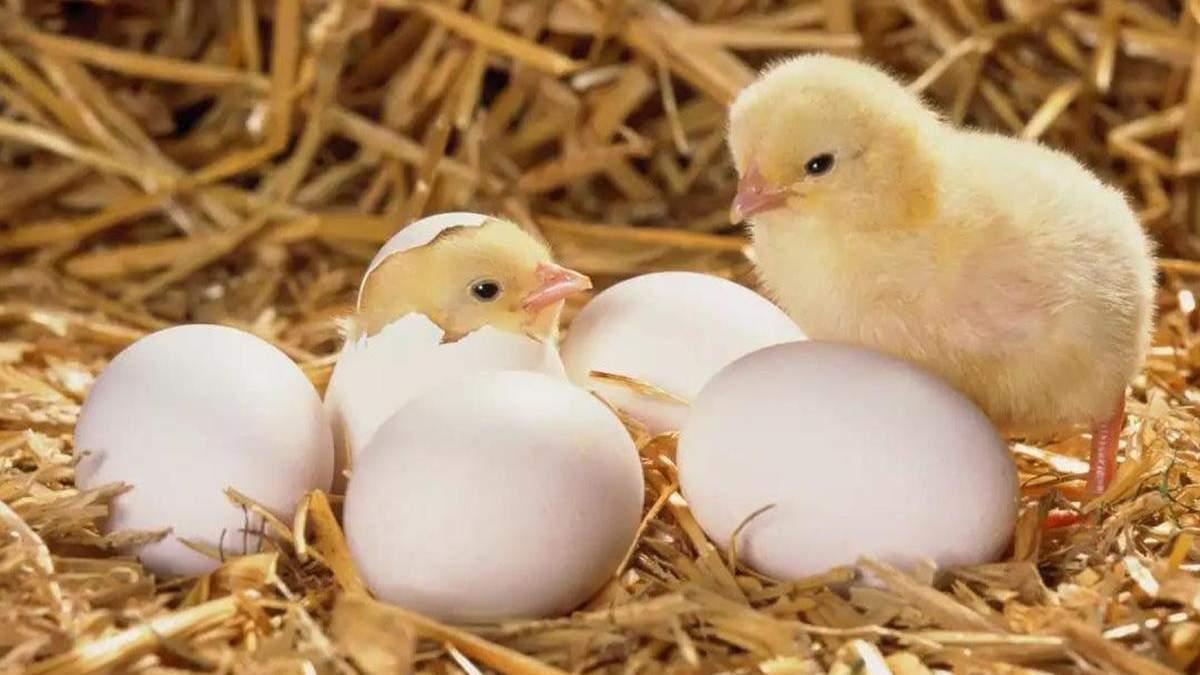 Как дышит птенец внутри яйца