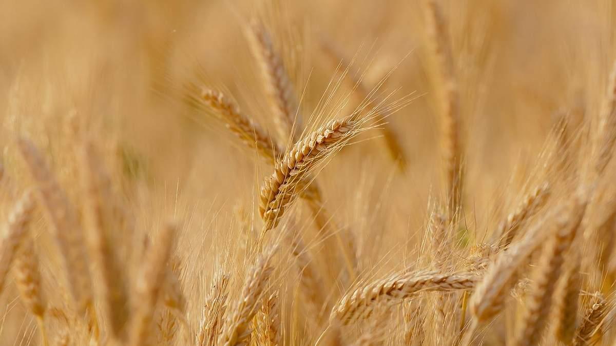 """""""Иржастые"""" болезни могут атаковать украинскую пшеницу"""