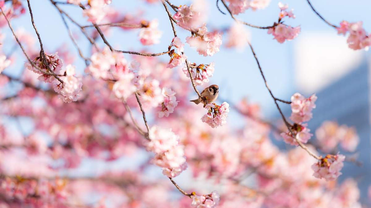 Сакуры бьют рекорд раннего цветения