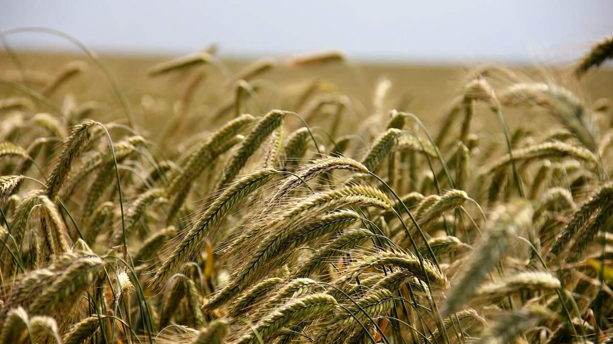 Українська пшениця дешевшає