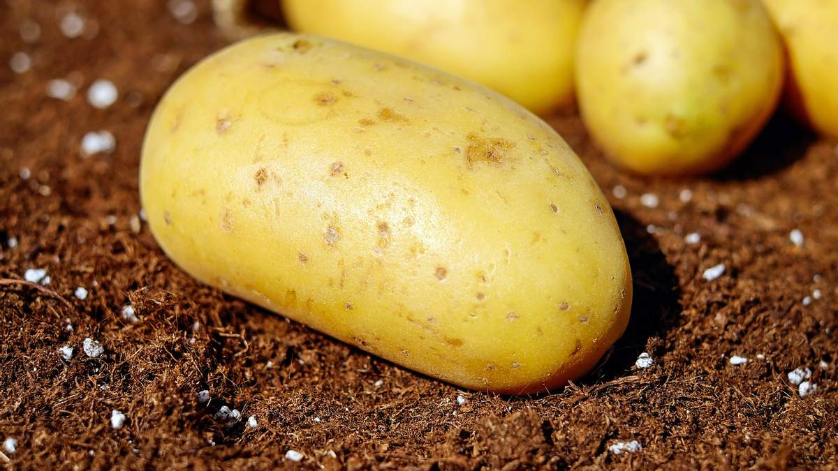 Картофелеводы получат компенсацию