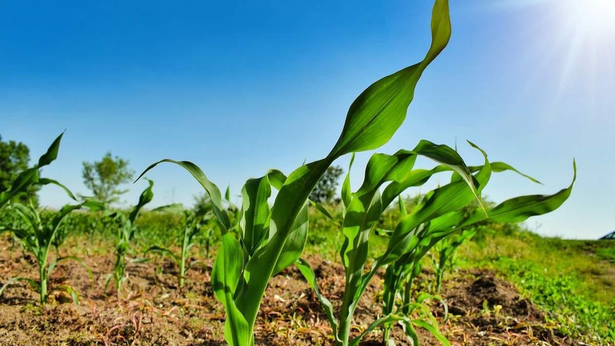 Україна втрачає першість в експорті кукурудзи –Китай надає перевагу США