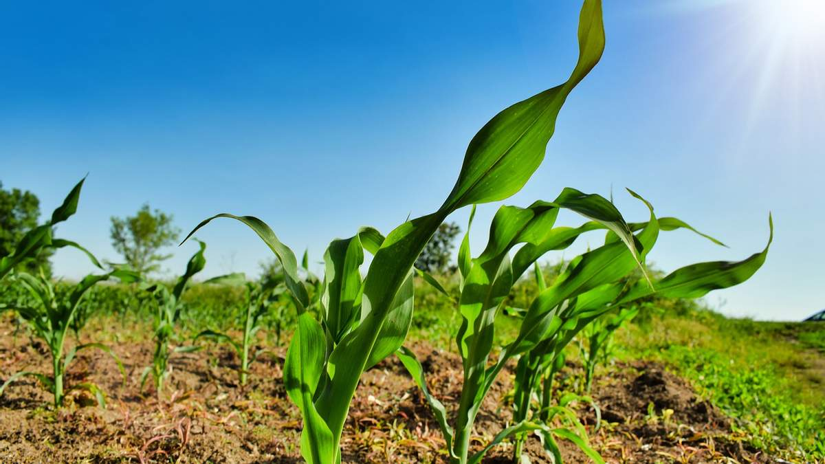 Украина теряет первенство в экспорте кукурузы – Китай предпочитает США