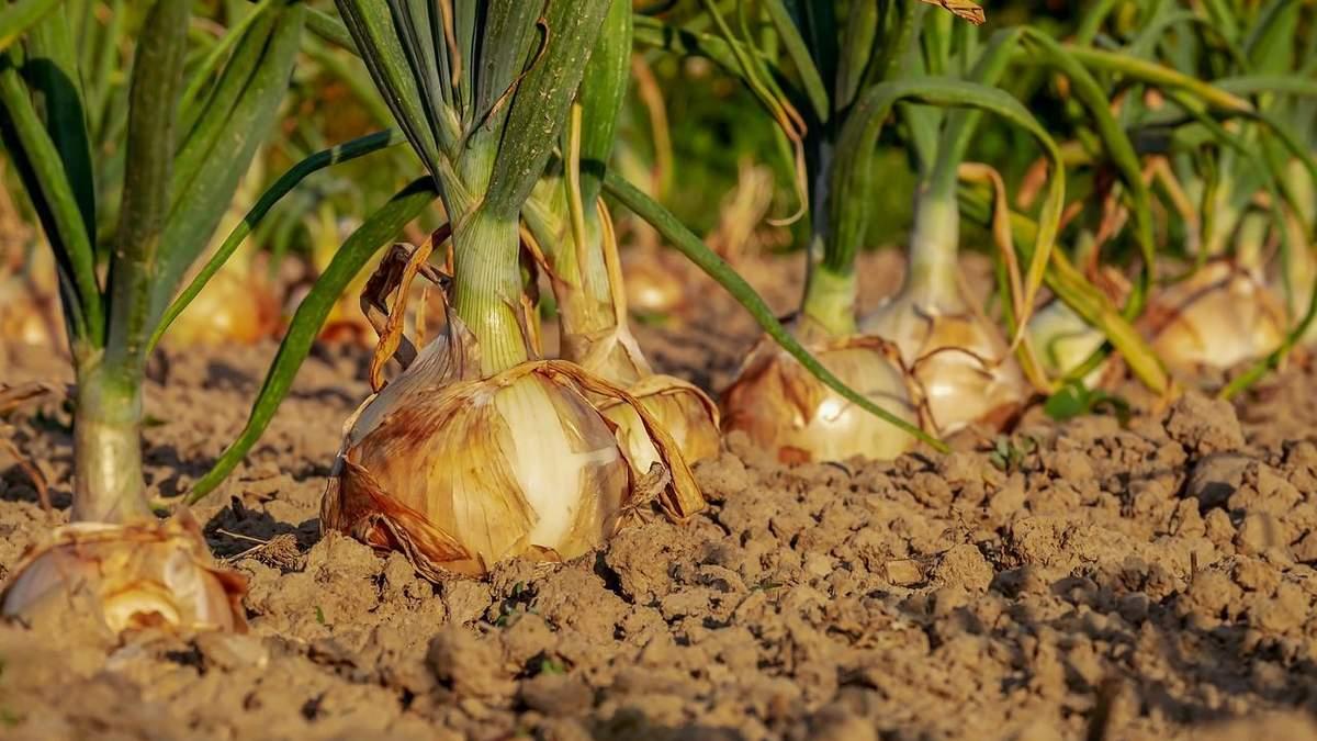 Погода в Украине уничтожает урожай