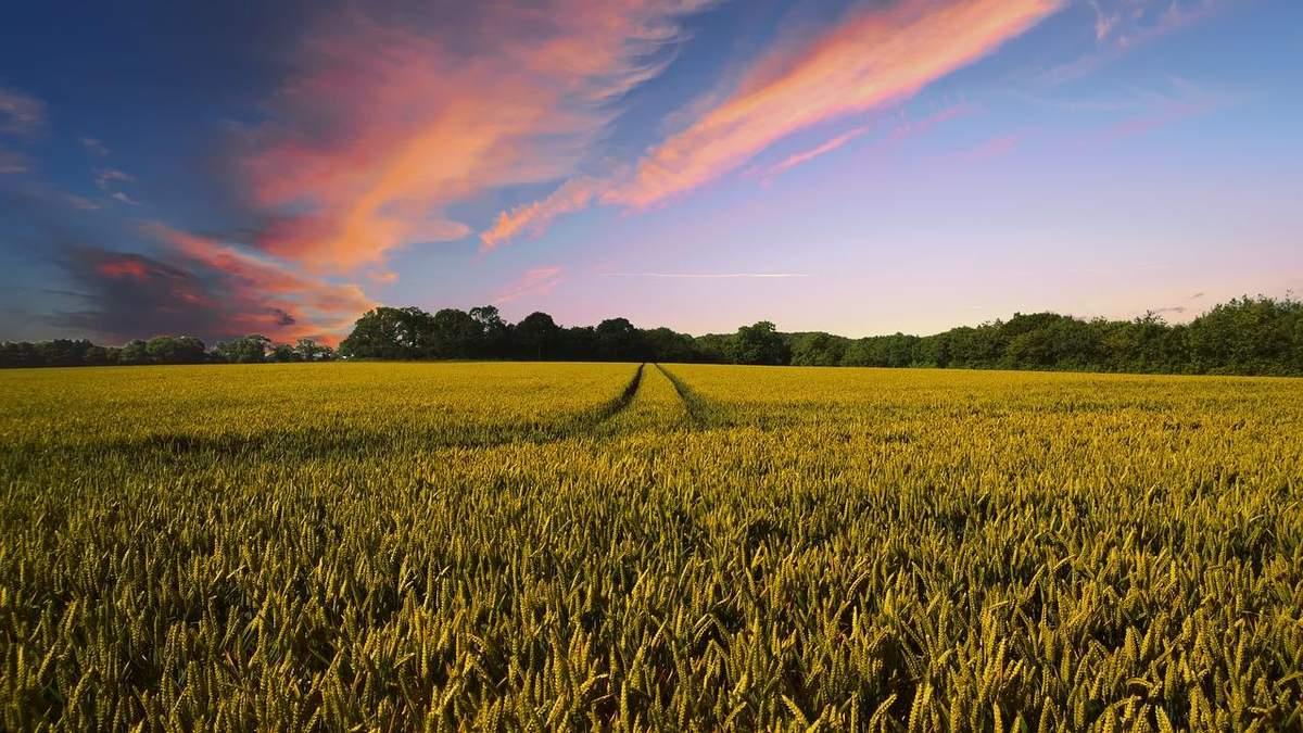 Озимые культуры: в каком состоянии растения и каким будет урожай
